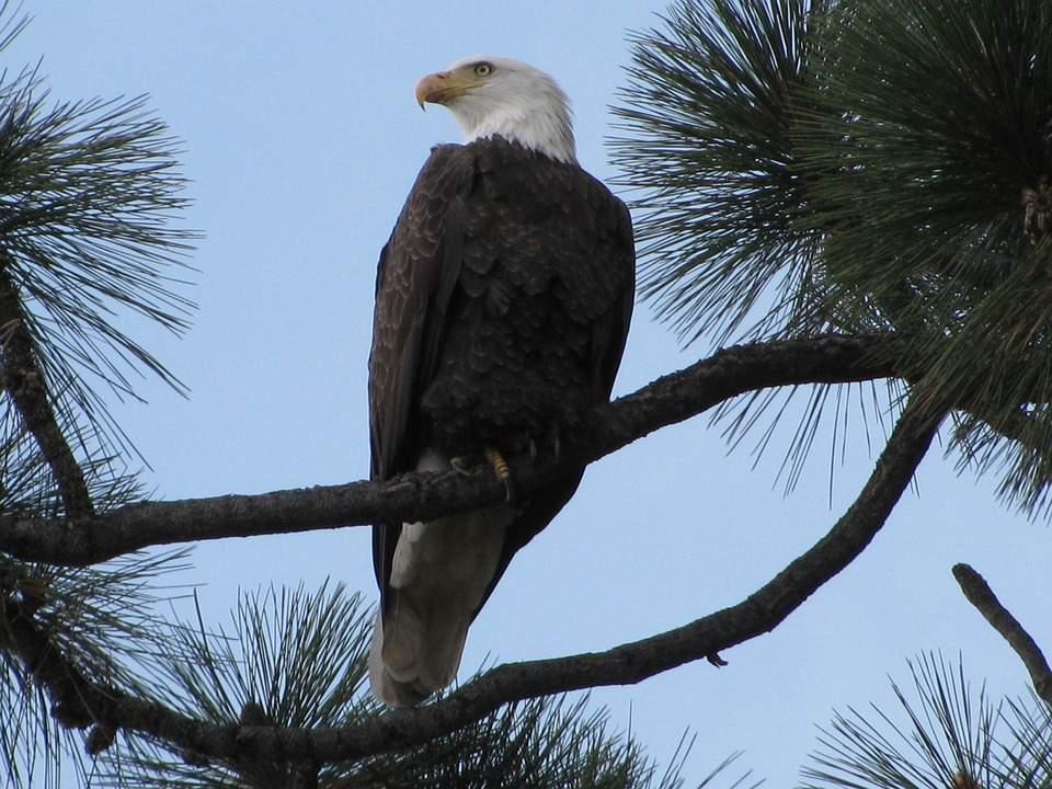bald-eagle-1323547_960_720
